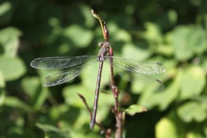 Dragonfly at Botanic Garden Albuquerque