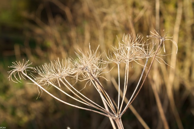 Seedhead Smallwood Feb 2015 (1 of 1)