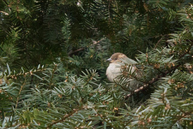 Sparrow in yew tree Central Park 6 Mar 2016 (1 of 1)