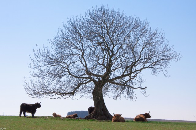Cows under tree near Lauder 1 9 May 2015-1