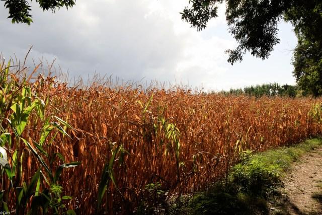 cornfield-rion-1-25-sep-2016-1