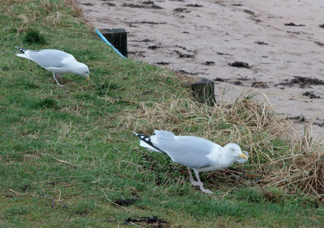 gulls-north-berwick-15-jan-2017-1-of-1
