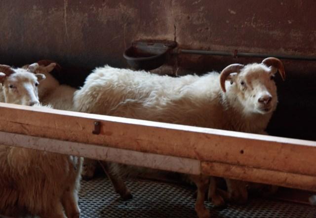 icelandic-sheep-farm-visit-13-feb-2017-1-of-1