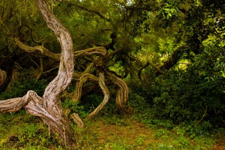 Twisted trees, Park Presidio, San Francisco.