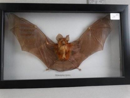 Rhinolophus Lepidus Bat