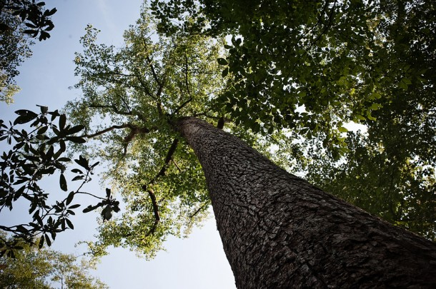 An enormous tulip poplar rises high above the forest floor at Joyce Kilmer. For the time being, the poplars alone dominate the upper canopy they once shared with the big hemlocks at Joyce Kilmer-Slickrock Wilderness, in Graham County. File photo, Mike Belleme/Carolina Public PressBelleme