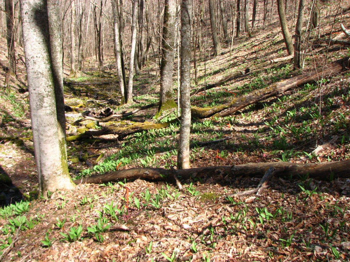 Ramps growing in National Forest.