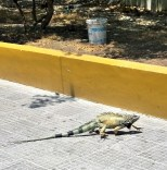 This lizard was walking across a park in the middle of town. He attracted some onlookers.