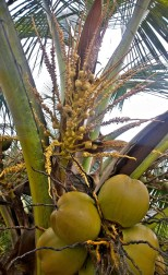 It only takes 4 months to grow a coconut