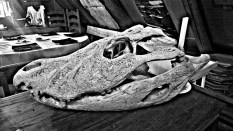 A reminder of where we are headed - a caiman skull.
