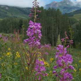 2010_07_CB - fireweed at gothic
