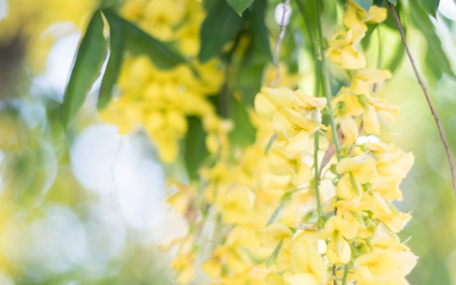 Close up of yellow wisteria blossoms hanging