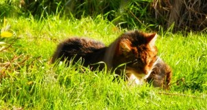 Scottish wildcat, wildlife, cat