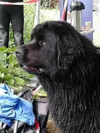 Newfoundland dog, water rescue dog, Newfie