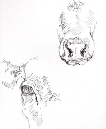 British White cattle, cattle sketches, cattle studies, Caroline Skinner Art