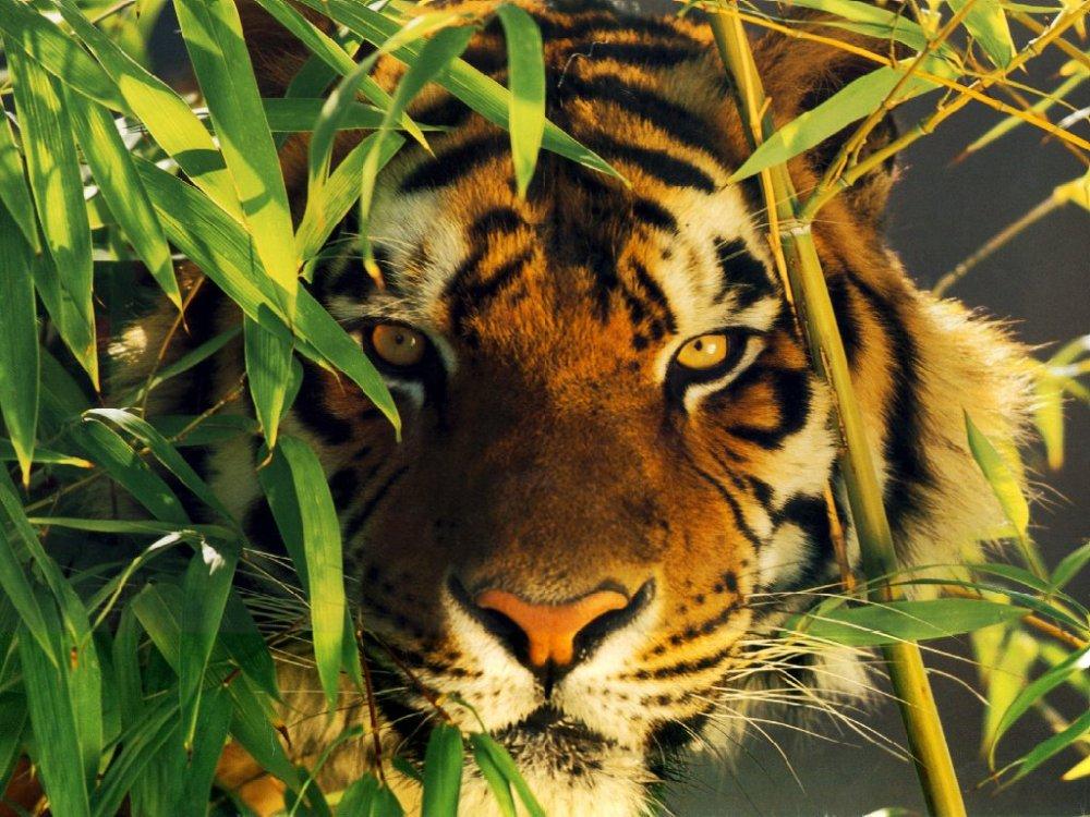 Poésie: The Tiger by William Blake
