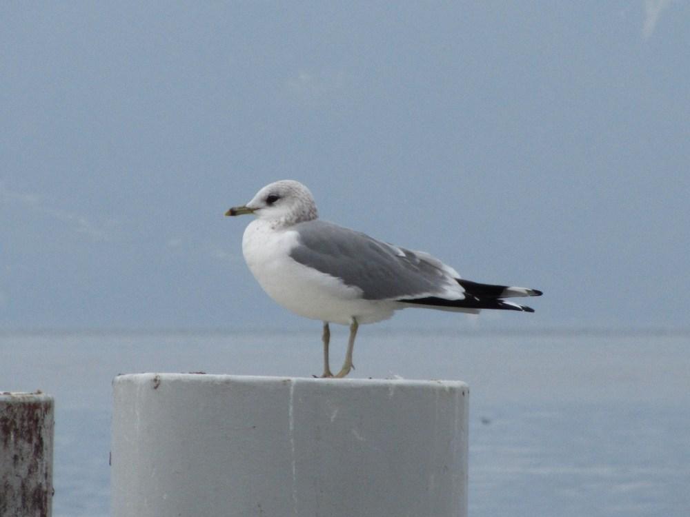 Recencement des oiseaux d'eau hivernants (6/6)