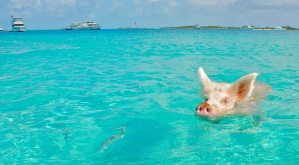 Pig swimming in turquoise water of The Exumas in The Bahamas, Caribbean
