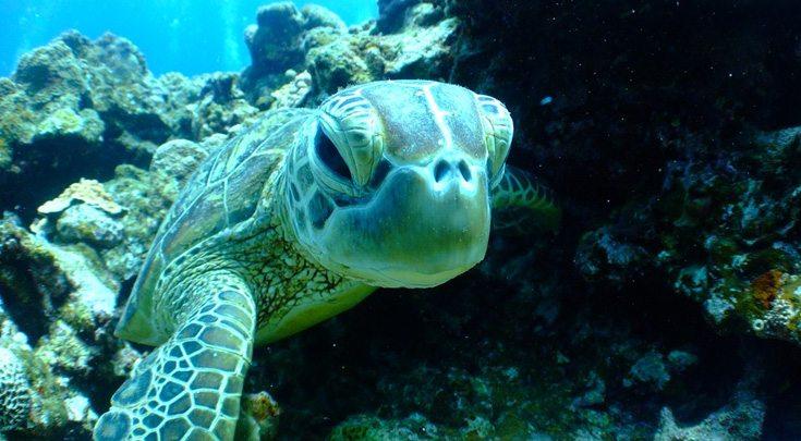 Turtle underwater close-up