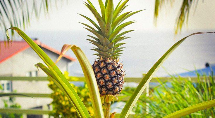Pineapple in Windward Islands
