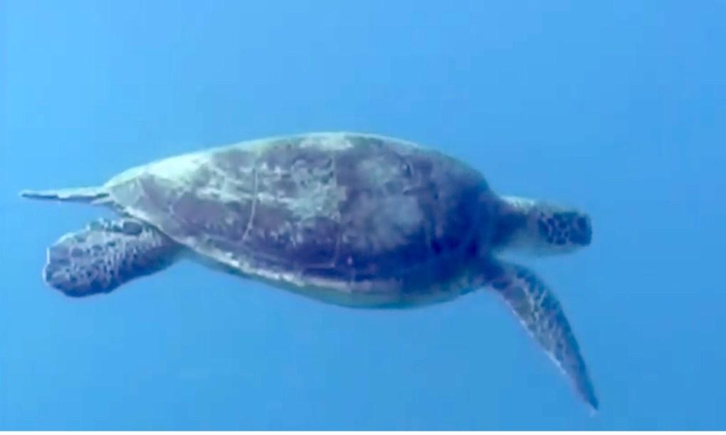 Sea tortoise underwater on a SCUBA dive with Captain Gio from the sailing catamaran LOLALITA in Bimini, the Bahamas