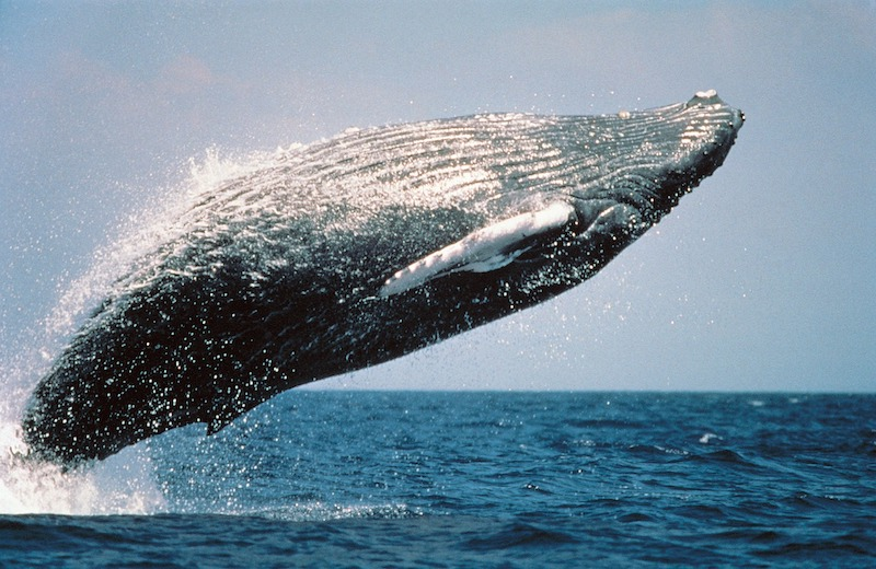 Humpback whale breaching over ocean. Image by skeeze from Pixabay.