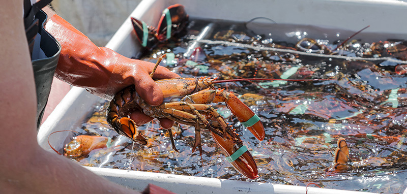 Locally-caught lobster is a must for any visit to Maine