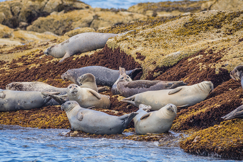 Seals on the rocks at Boothbay Harbor, Maine