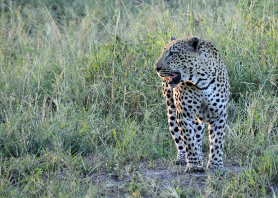 A leopard on the hunt.