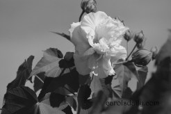 confederate-rose-bw