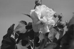 confederate-rose-bw