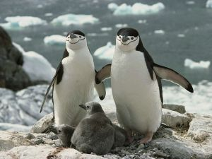 A Chinstrap Penguin Family