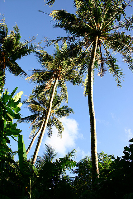 Coconut trees, Yap, Micronesia 2005. Photo by Suzanne Monday.