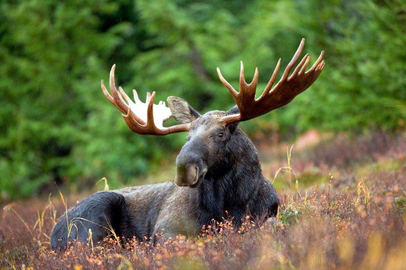 Male_Moose
