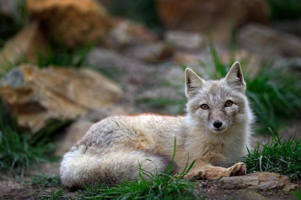 Korea fox