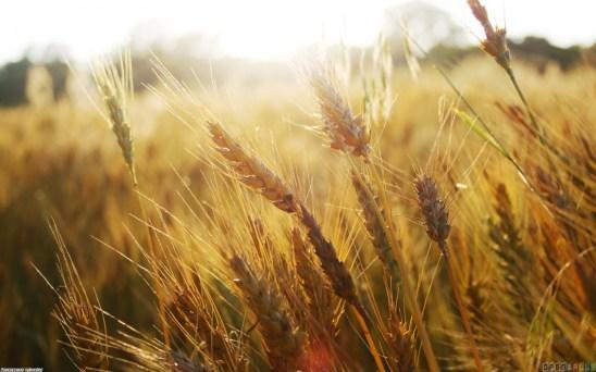 wheat_field__1_1680x1050