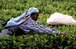 Hand-picked tea