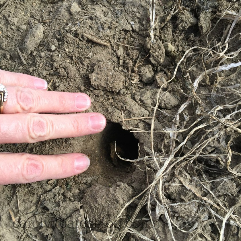 cover crop radish hole