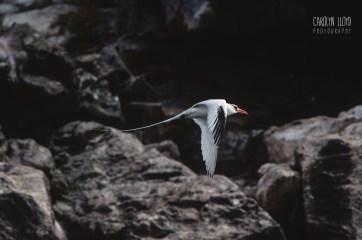 CLP_tropicbird