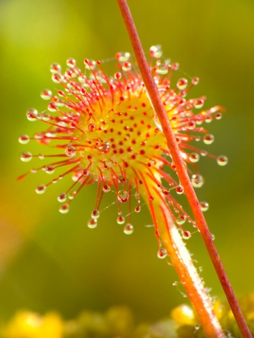 Sundew (Drosera rotundifolia) lives on swamps and it fishes insects sticky leaves