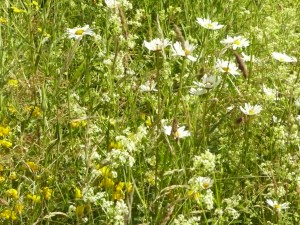 Meadow at midsummer 24.06.16