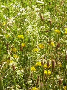 Hayfever: Meadow on Midsummers Day 24.06.16