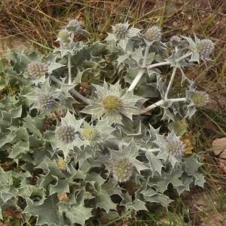 Eryngium Maritima (Sea Holly)