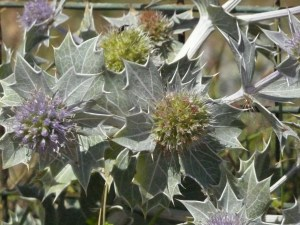 Eryngium Maritima (Sea Holly)