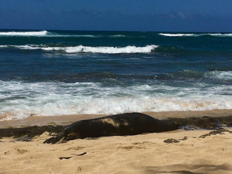 """During our stay at Turtle Bay Resort we nearly stumbled on a Hawaiian Monk Seal sunning itself on shore. It literally blended in with the volcanic rock that was scattered along the beach. It was the """"seal watchers"""" standing guard that alerted us to divert our course. These """"seal watchers"""" are volunteers who sit along the beaches to protect the seals from people who get too close. While they are there to protect the animal - and the people - they are also there to help educate. We learned a lot about how the Hawaiian Monk Seal makes its way around the islands and how to protect it given it is now the most endangered marine life in the Western Hemisphere. Click over for a full review of Turtle Bay Resort on Oahu's North Shore."""