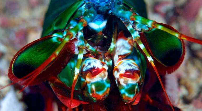 Mantis shrimps have the most complex eyes in the animal kingdom that can see ultraviolet and polarized light. They have trinocular vision which means that they can see one object using one of the three different parts of eye. Mantis shrimp can survive more than 20 years in the wild.