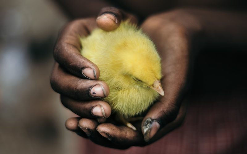 poussin mains jaune noir protection