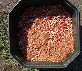 Maggots-an-excellent-carp-bait
