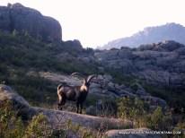 Gran trail peñalara 2014 Cabras montesas al paso por La Pedriza