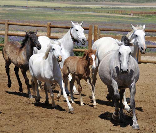 a herd of mares and foals running into the arena